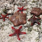 Jambiani starfish